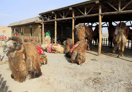 Camels ready to ride, Beijing Hikers Zhangye, May, 2012