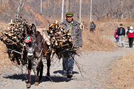 A donkey carrying branches cut for firewood
