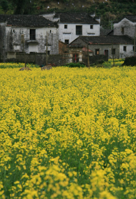 Fields of rapeseed flowers surround small villages, Beijing Hikers Wuyuan Trip, Jiangxi Prov.
