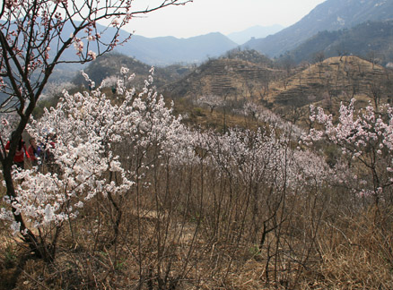 Blossoms, Beijing Hikers Chestnut Orchard hike, 2010-04-24