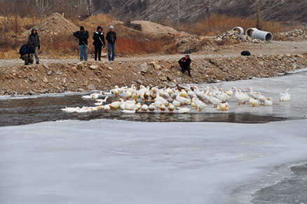 Geese on the ice, Beijing Hikers White River Ice Hike, February 5, 2011