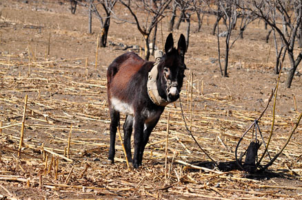 A donkey, Beijing Hikers Auspicious Village and Huanghuacheng,March 06, 2011
