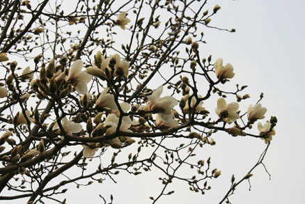 ,Magnolia flowers Beijing Hikers Mr. Mao's Chestnut Orchard, April 6, 2011