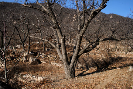 An old chestnut tree, Beijing Hikers BigBlackMountain, November20, 2011