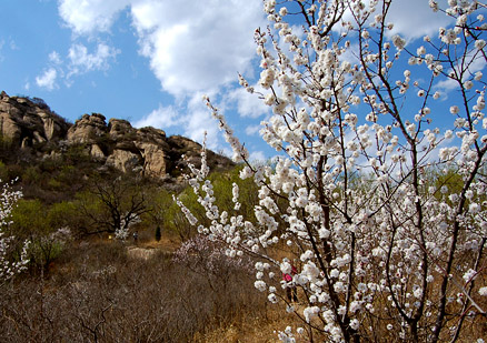 peach blossom, Beijing Hikers Immotal Vally, April15, 2012