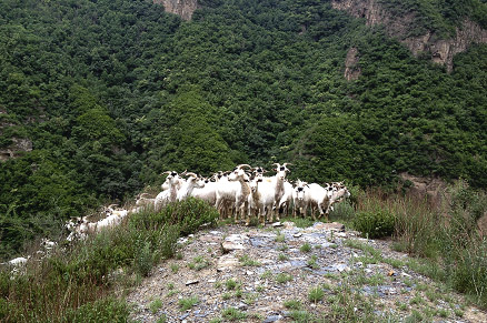 large herds of goats, Beijing Hikers Full Moon hike, June09, 2012