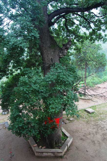 An ancient locust tree, Beijing Hikers Pingyao trip, August10, 2012