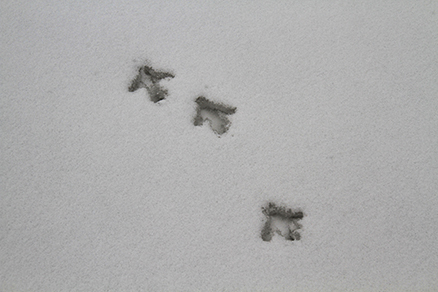More bird prints., Beijing Hikers Rolling Hills, Dec16, 2012