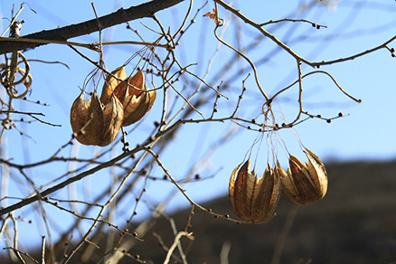 A local plant of an unknown species, Beijing Hikers Auspicious Village to the Eastern Palace hike, Dec23, 2012