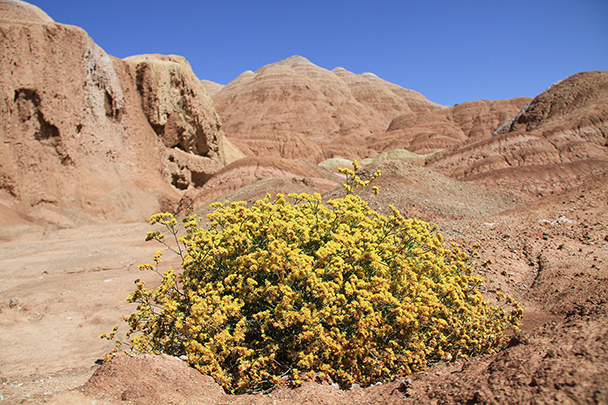 A type of local wildflower named Jinyinhua, Badain Jaran Desert and Zhangye Danxia Landform, 2013/09