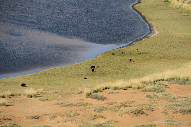 Cows grazing by a lake in the desert, Badain Jaran Desert and Zhangye Danxia Landform, 2013/09