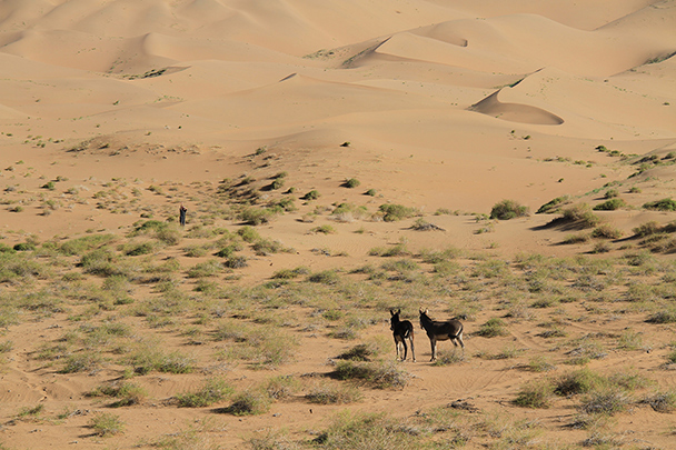 These donkeys are not too sure about an approaching hiker., Badain Jaran Desert and Zhangye Danxia Landform, 2013/09