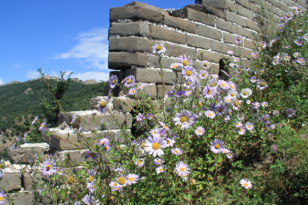 Flowers on the Great Wall, Beijing Hiker's Switchback Great Wall hike, 2013/09/01
