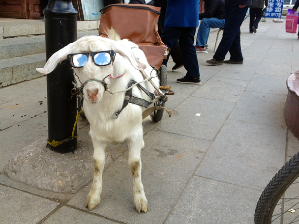 Goat wearing sunglasses, Beijing Hiker's Cypress Wells Canyon hike and Yongning Town visit, 2013/10/19