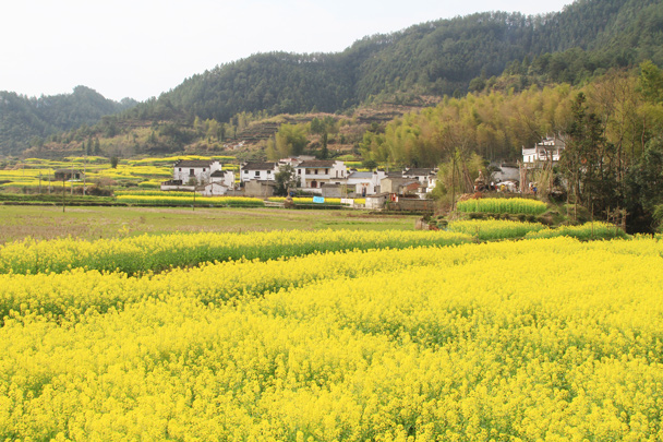 Surrounded By Canoloa Feilds Quotes: Trip Report: Wuyuan County, Jiangxi Province, 2014/03