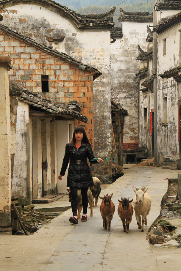 Walking the goats - Wuyuan County, Jiangxi Province, 2014/03