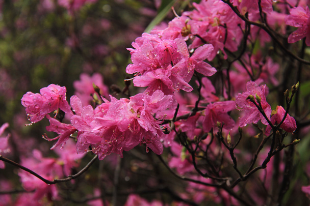 Beautiful pink flowers - Wuyuan County, Jiangxi Province, 2014/03