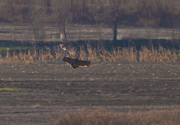 A Greater Spotted Eagle interacting with an Eastern Marsh Harrier - Miyun Birdwatching overnighter, 2014/03/29-30