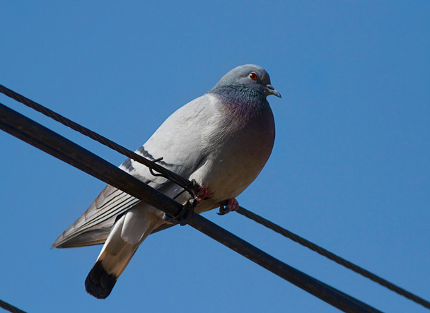 A Hill Pigeon - Miyun Birdwatching overnighter, 2014/03/29-30
