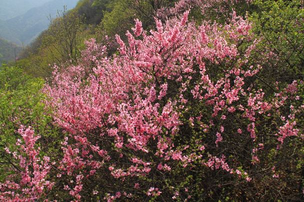 We think these are azaleas! - Switchback Great Wall, 2014/4/12