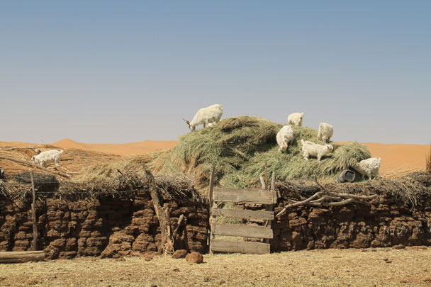 Sheep at one of the tiny settlements by the lake - Alashan Desert, Inner Mongolia, 2014/05