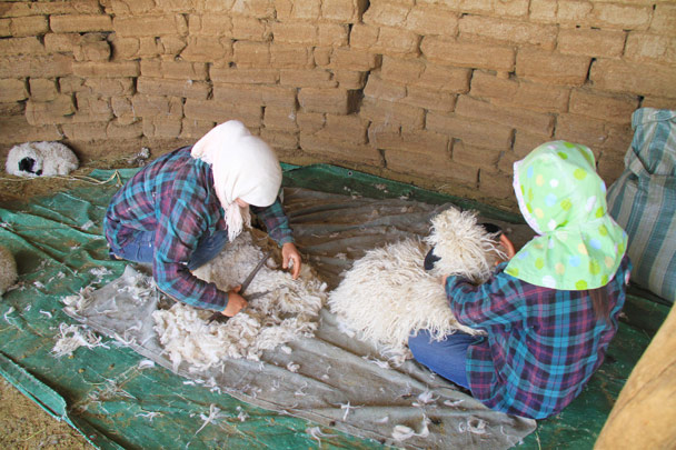 Shearing the sheep in a mud brick structure - Alashan Desert, Inner Mongolia, 2014/05