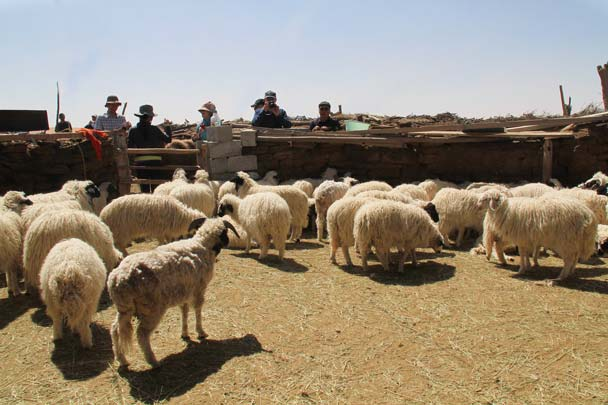 More sheep at the next desert settlement - Alashan Desert, Inner Mongolia, 2014/05