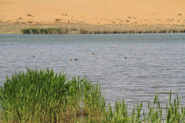 Birds floating on the lake - Alashan Desert, Inner Mongolia, 2014/05