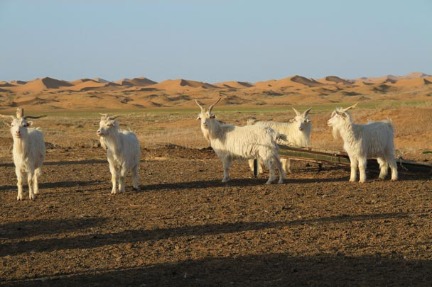 As well as sheep, there were a lot of goats being raised in the desert - Alashan Desert, Inner Mongolia, 2014/05