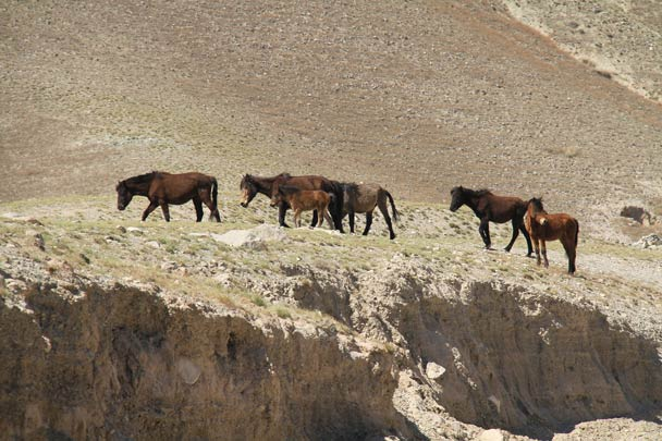 After coming out of the desert, we drove to Yinchuan. On the way, we spotted Mongolian wild horses, an endangered species, on a cliff in the Helan Mountains - Alashan Desert, Inner Mongolia, 2014/05