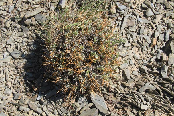 An interesting shrub growing on rocks - Alashan Desert, Inner Mongolia, 2014/05