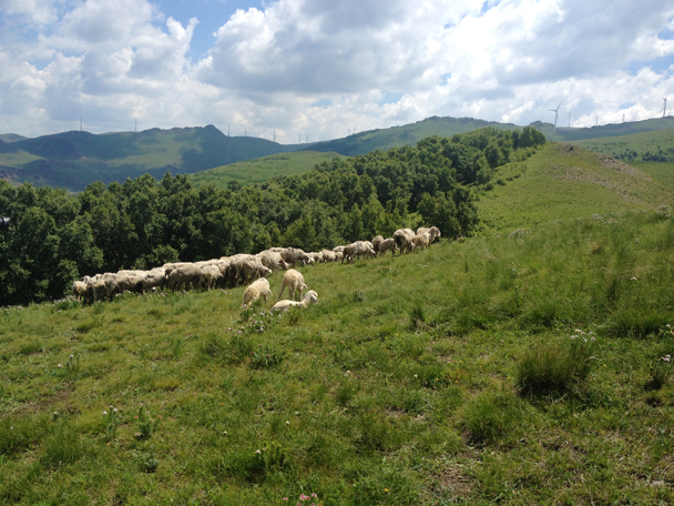 Sheep grazing on a ridgeline - Bashang Grasslands trip, 2014/06