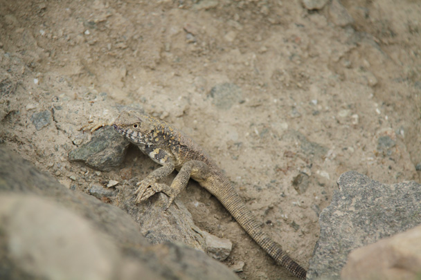 A little lizard - Along the Silk Road from Korla to Kashgar, 2014/06