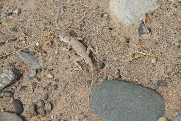 Another lizard - Along the Silk Road from Korla to Kashgar, 2014/06