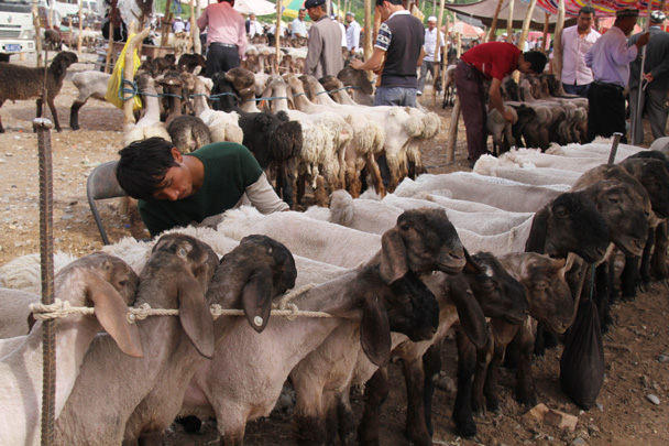 Little lambs lined up for sale at the Kashgar livestock market - Along the Silk Road from Korla to Kashgar, 2014/06