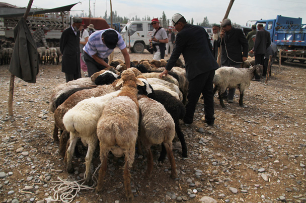 A herd of sheep, having their tails trimmed - Along the Silk Road from Korla to Kashgar, 2014/06