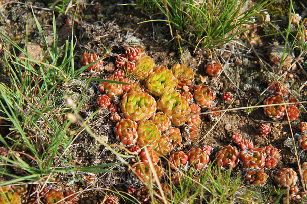 Interesting succulents - Hulunbuir Grasslands, Inner Mongolia, 2014/07