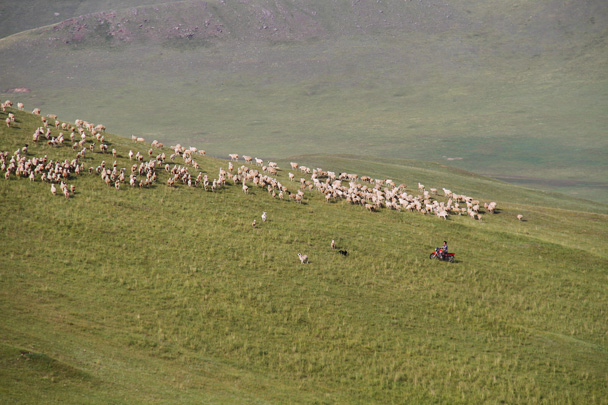 A shepherd using his motorbike to herd sheep - Hulunbuir Grasslands, Inner Mongolia, 2014/07