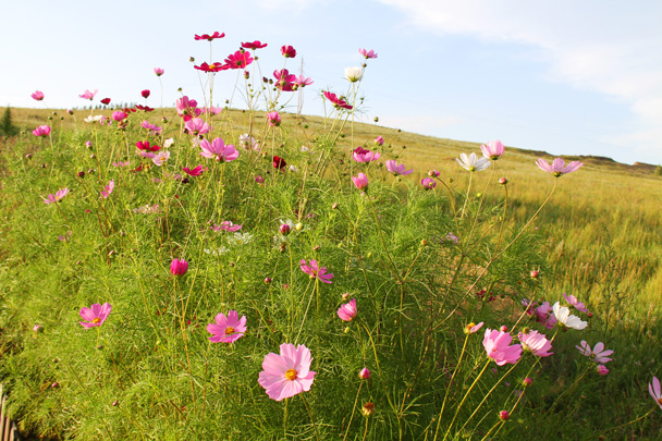 Beautiful pink flowers - Hulunbuir Grasslands, Inner Mongolia, 2014/07