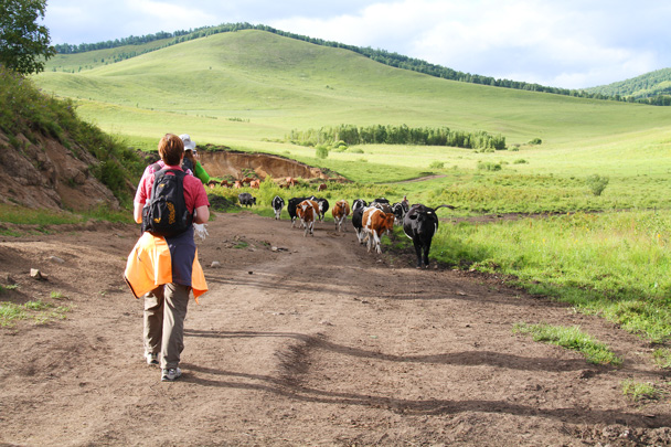 While walking about we bumped into some cows on the way to the milking shed. A lot of milk is produced in the area - Hulunbuir Grasslands, Inner Mongolia, 2014/07