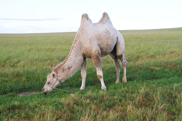 Wonder where this camel came from? - Hulunbuir Grasslands, Inner Mongolia, 2014/07