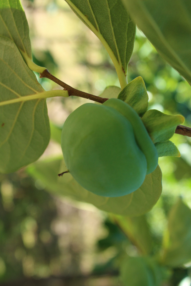 We walked past persimmon trees - Zhuangdaokou Great Wall to the Walled Village, 2014/07/12