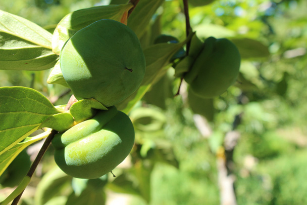 Persimmons won't be ripe until November, when they turn orange - Zhuangdaokou Great Wall to the Walled Village, 2014/07/12