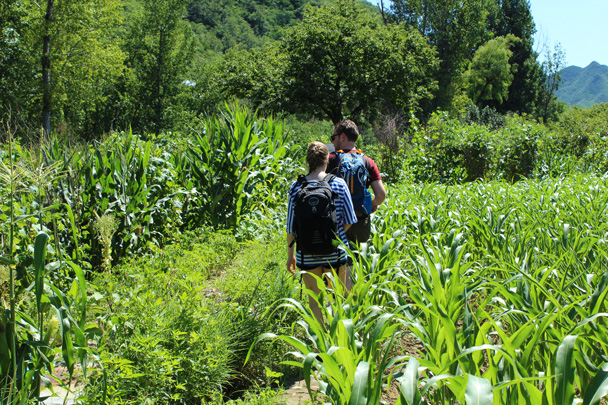 The trail took us through cornfields - Zhuangdaokou Great Wall to the Walled Village, 2014/07/12