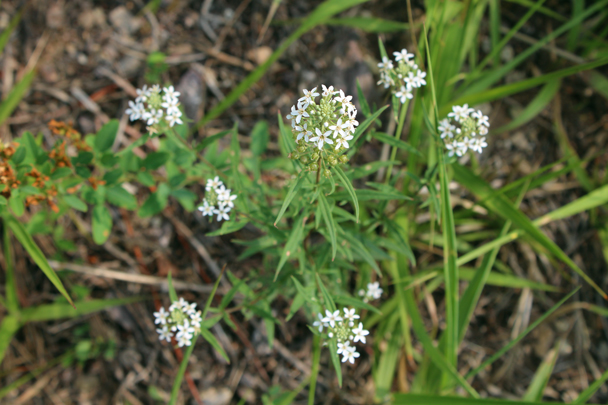 White flowers with tiny petals - Vulture Rock Ridge Loop hike, 2014/08/09