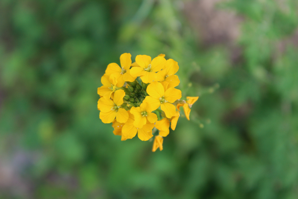 Close shot of yellow flowers - Vulture Rock Ridge Loop hike, 2014/08/09