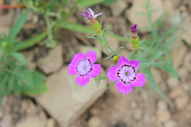 Pink flowers with patterns - Vulture Rock Ridge Loop hike, 2014/08/09
