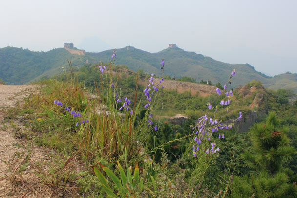 Wild flowers on the Great Wall - Gubeikou Great Wall, 2014/09/06