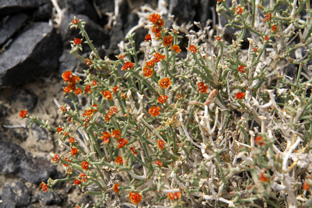 Flowering shrubs in the desert - Journey from the West, 2014/10
