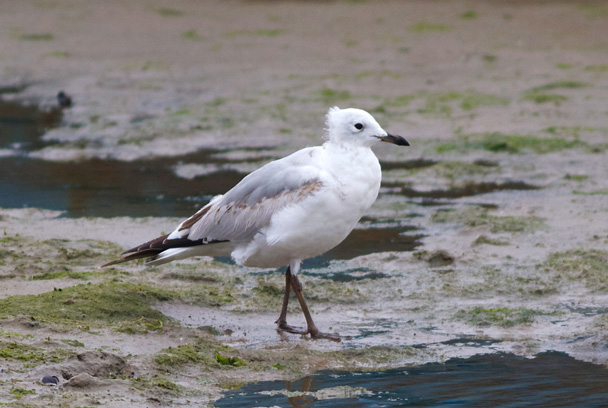 Relict Gull - Beidaihe Birding Trip, 2014/10